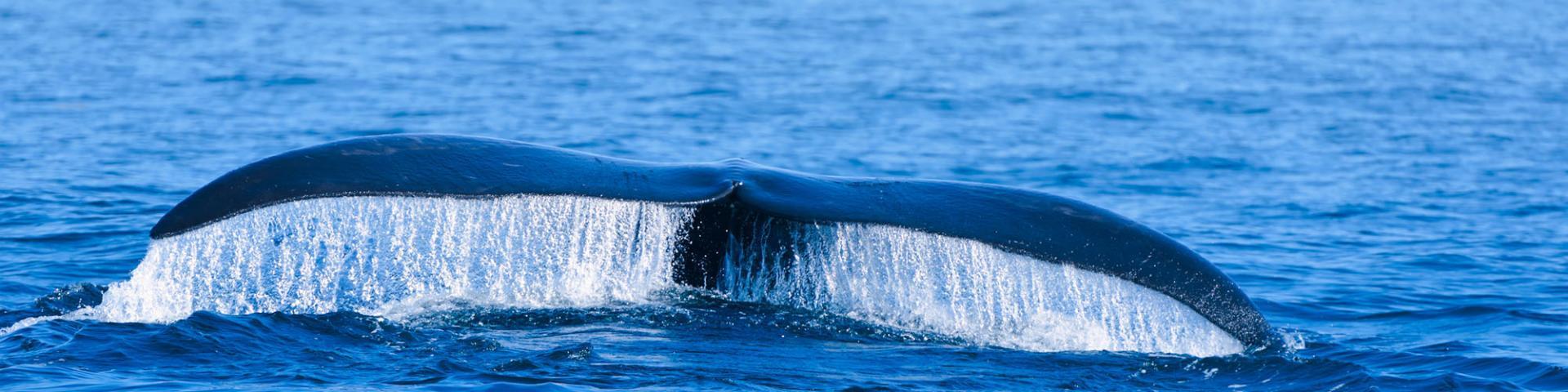 Samaná Whales