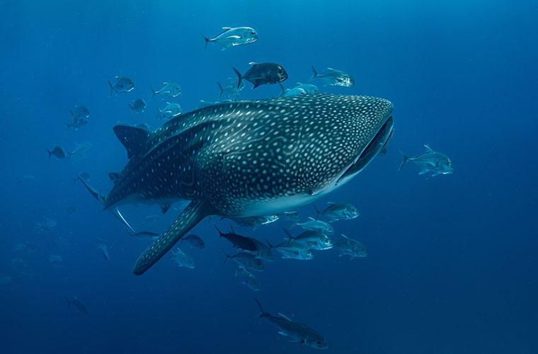 Whale Shark Encounter Los Cabos